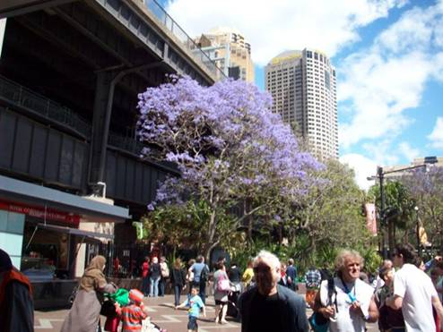 C:\Documents and Settings\Genie\My Documents\My Pictures\Sydney 1\Jacarunda Tree.jpg